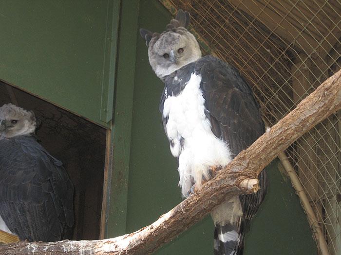 american harpy eagles 2020