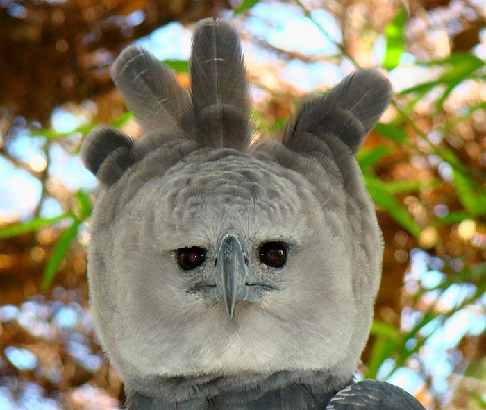 royal hawks brazil