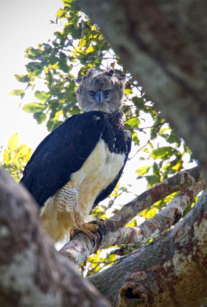 harpy eagles new pics 2020