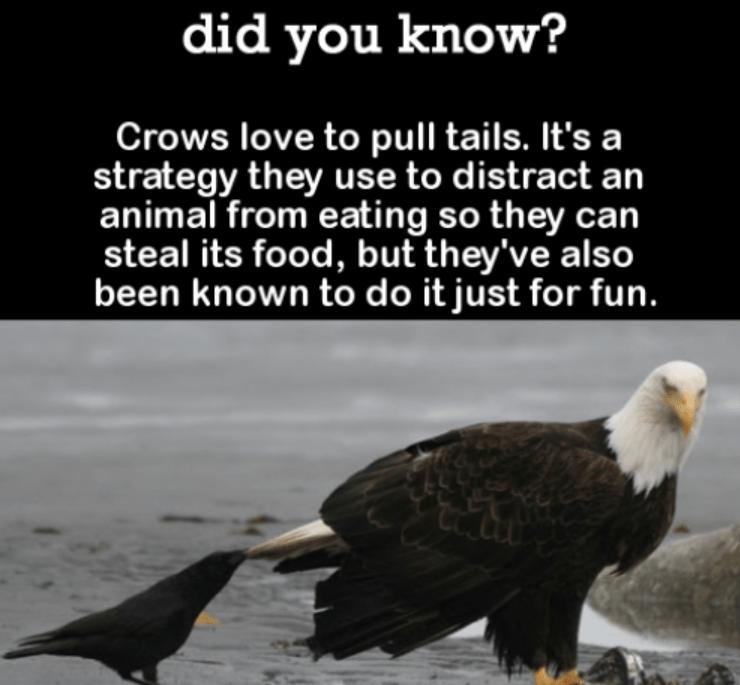 weirdest facts about crows