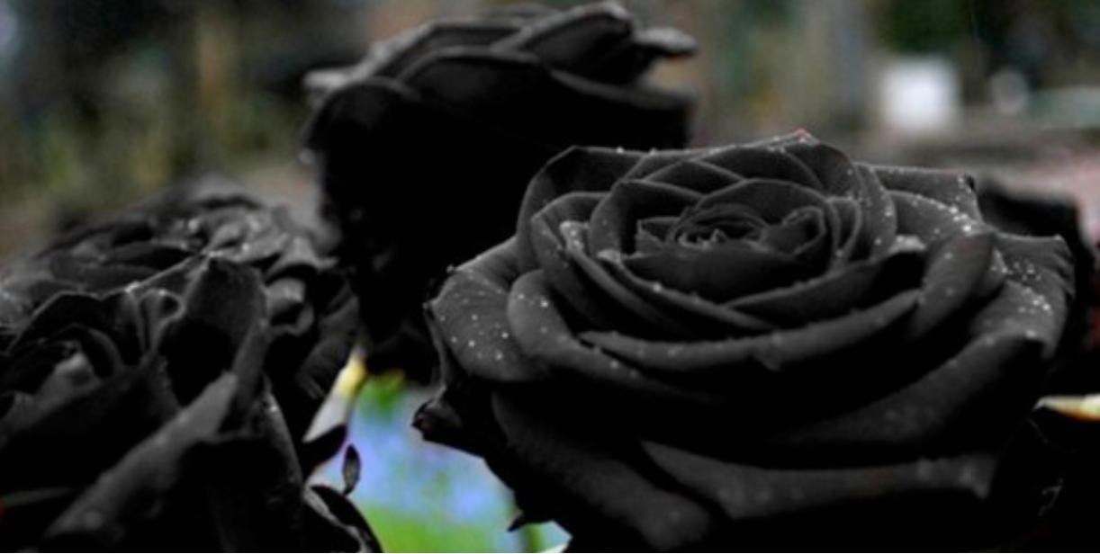 black roses 2020