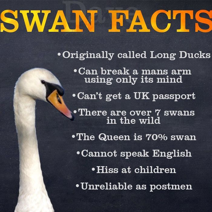 ridiculous facts about swans