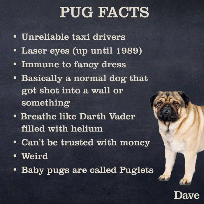 funny facts about pugs