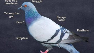 weird pigeon facts
