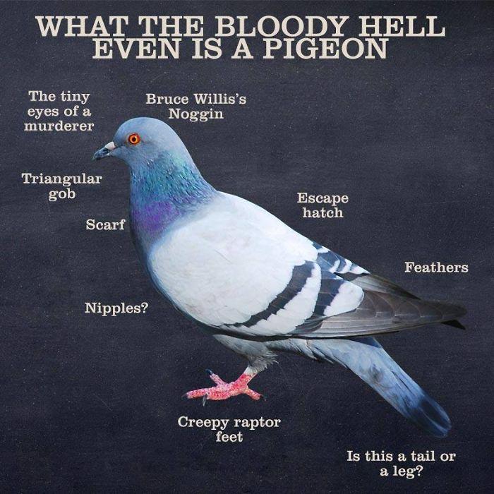 weird pigeon facts