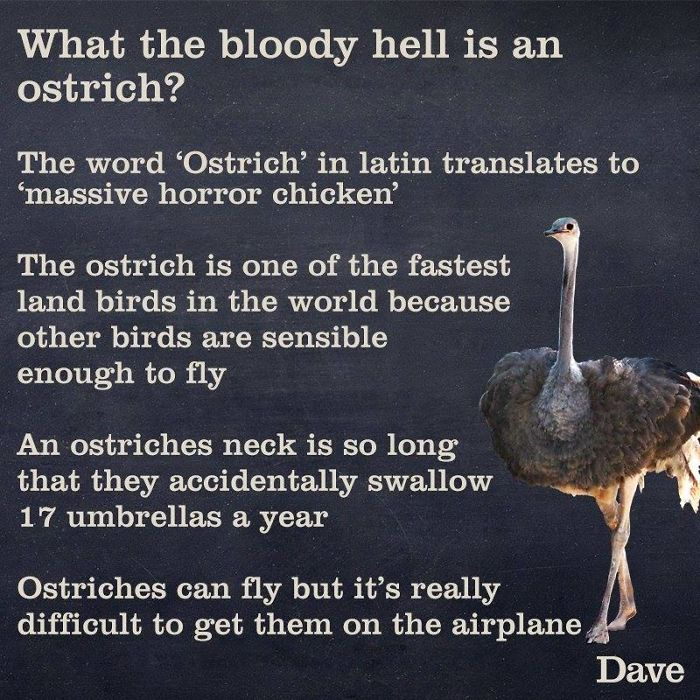 crazy facts about ostrichs